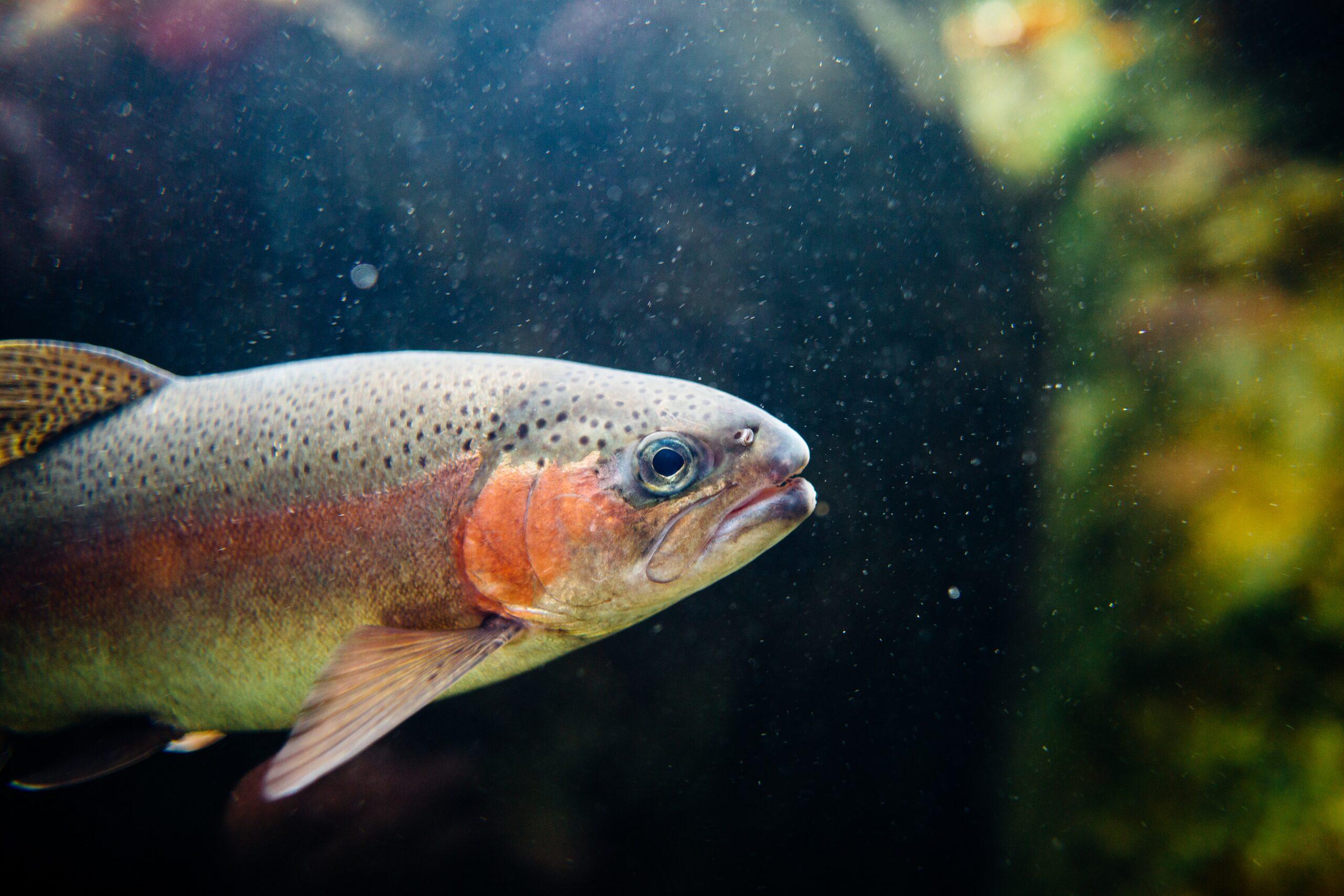 Regnbåge i akvarium